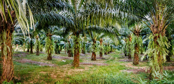 Sustainable palm oil and responsible soy lecithin)